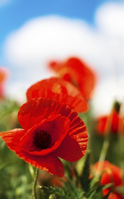 The poppy and the cross a retired army colonel reflects on memorial red poppy in field memorial day remember mightylinksfo